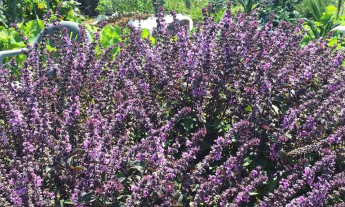 Why this fragrant plant is the king of herbs in your garden