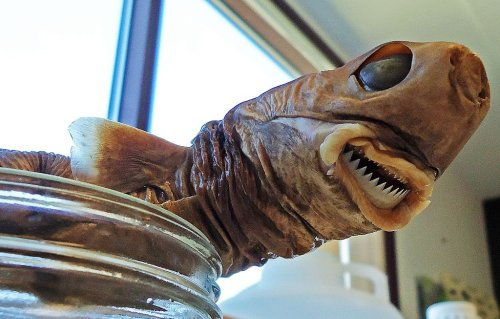 Tiny But Fearless Cookie-Cutter Sharks Will Bite Even Nuclear Submarines