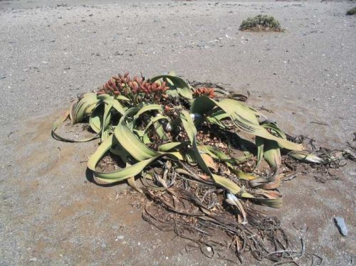 Welwitschia – The World's Most Resilient Plant