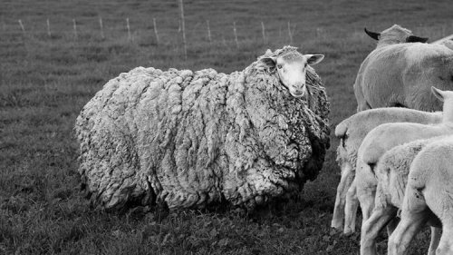 Sheep Returns Home After Seven Years of Living in Tasmanian Bush