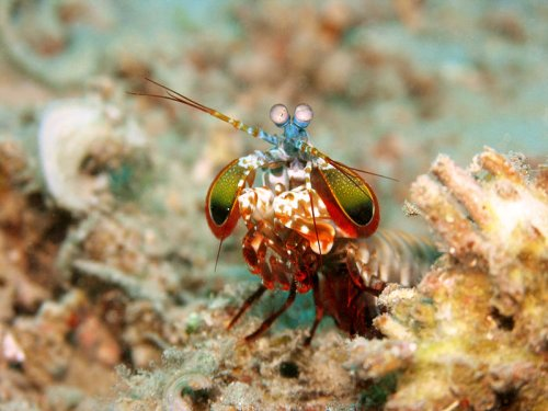 This Shrimp Punches So Hard It Can Chip And Even Crack Fish Tanks