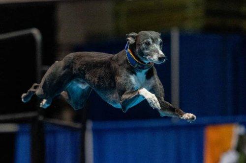 Meet Spitfire, the Michael Jordan of Dock Diving Dogs