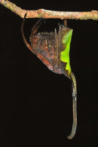This Spider Masquerades as a Fallen Leaf to Avoid Predators