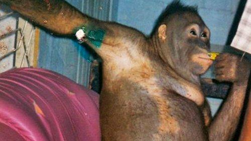Orangotango é maquiado e vestido de mulher para abusarem dela em um bordel na Indonésia