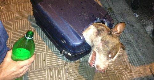 Pitbull encontrado em mala foi dado como morto, mas um milagre aconteceu