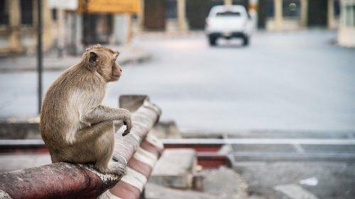 Wilde Szenen wegen des Coronavirus: Hunderte Affen kämpfen um eine Banane (Video)