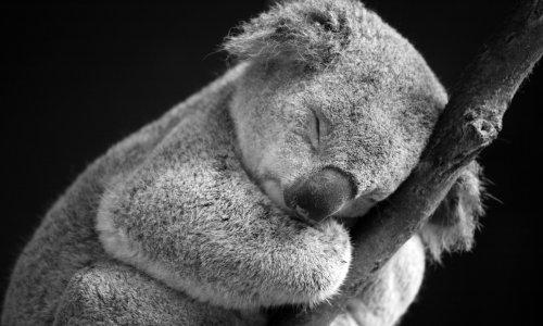 Kampf ums Überleben: Wissenschaftler:innen hoffen auf neuen Impfstoff, um Koalas zu retten