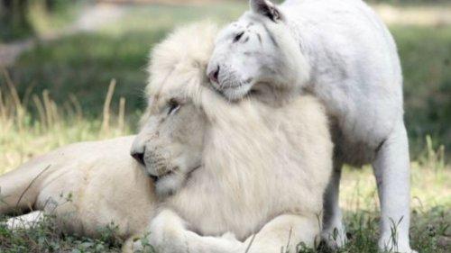 Ein weißer Löwe verliebt sich in eine weiße Tigerin