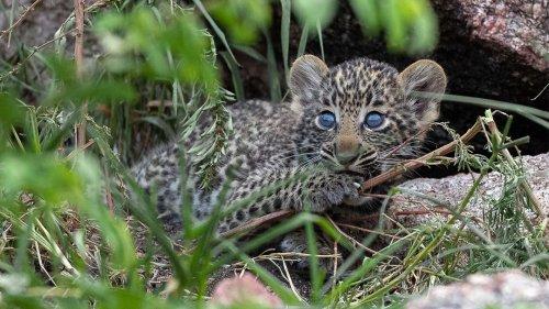 Baby-Leopard nähert sich Löwin: Ein Jahr später ist eine einzigartige Beziehung entstanden