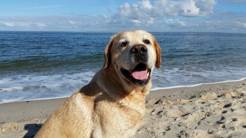 Süße Rettungsaktion: 2 Labradore fischen 15-Jährige aus dem Meer