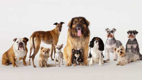 Wegen uns Menschen: Diese Hunderasse stirbt bald aus