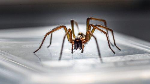Mit Zitronen-Hack hältst du Spinnen davon ab, während der Paarungszeit in dein Haus einzudringen