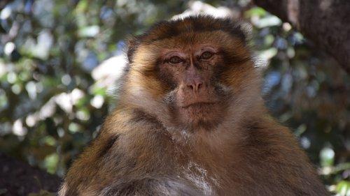Affe hält Welpen drei Tage lang in Gefangenschaft, dann folgt eine dramatische Wendung