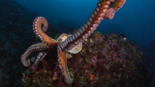 Weibliche Kraken werfen Muscheln auf Männchen, die sie belästigen