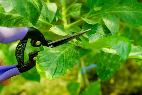 How To Prune Tomato Plants – And Why It's The Secret To A Great Crop!