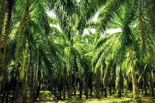 Palm Oil Bans Meet Resistance in Southeast Asia