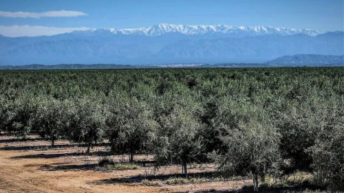 Inclement Weather Dampens Argentina Olive Harvest, But Quality Remains High