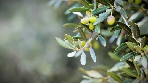 Phytochemicals in Olive Oil Help Prevent a Range of Diseases, Study Finds