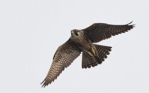 Aggressive Falcons Are Closing Some Of Colorado's Most Popular Areas