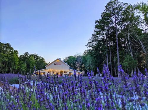 Get Lost In 4,000 Beautiful Lavender Plants At Lavender Oaks Farm In North Carolina