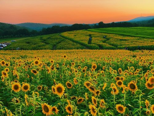 Most People Don't Know About This Magical Sunflower Field Hiding In Pennsylvania