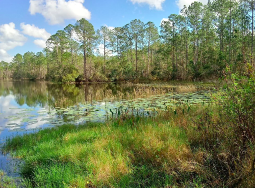 Spot Black Bears Bald Eagles In Tiger Bay State Forest In Florida