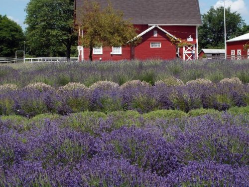 Get Lost In Thousands Of Beautiful Lavender Plants At Hidden Spring Lavender Farm In New Jersey