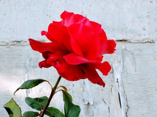 KORRES Wild Rose: Your Newest Anti-Aging Secret