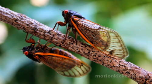 The Cicadas Return After 17 Years: Stunning Footage of the Brood X Cicadas