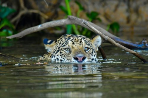 Researchers want to reintroduce jaguars to the American Southwest | The Optimist Daily