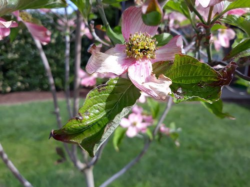 Does this dogwood have a fungal disease? Ask an expert
