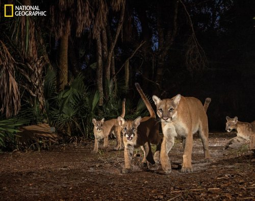 National Geographic features Carlton Ward's Florida panther photos