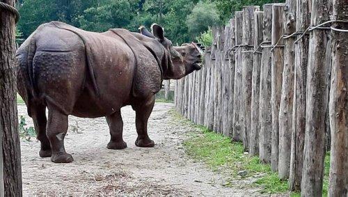 Le Guerno. Un nouveau rhinocéros mâle au parc de Branféré