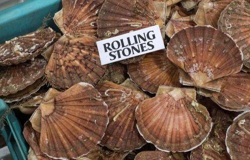 Record historique de la biomasse de coquille en Manche