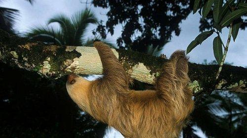 Un fossile de paresseux géant découvert en Guyane