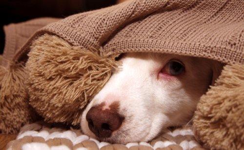 Mon chien a les yeux rouges : pourquoi ? Est-ce grave ?