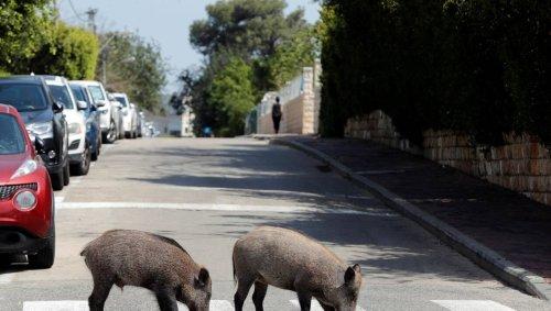 Des sangliers envahissent les rues de Rome et provoquent l'exaspération des habitants