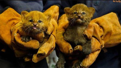 Au zoo de La Flèche, deux bébés jaguarondis sont nés | Le Maine Libre