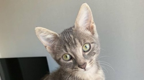 Laval. Qui veut adopter le chaton Shine ?