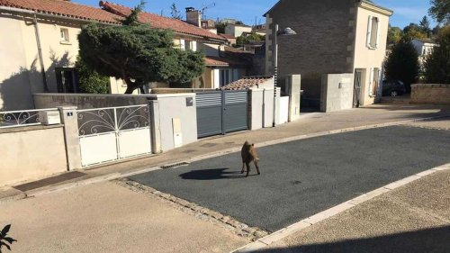 Près de Thouars. Un sanglier aperçu et pris en photo dans les rues de Saint-Jean-de-Thouars | Courrier de l'Ouest