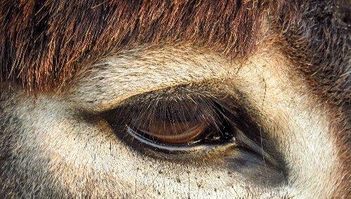 Var. Des ânes remplacent les 4x4 pour nettoyer la plage de Pampelonne