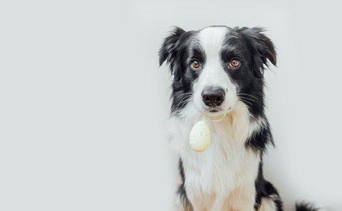 Les œufs sont-ils bons pour le chien ?
