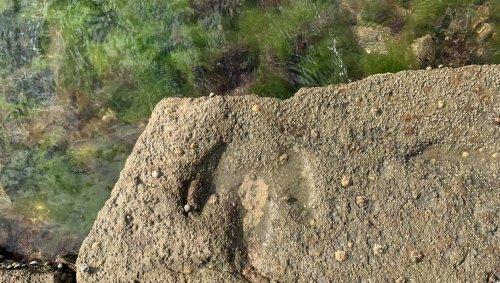 Vendée. Vandalisme et érosion, la difficile conservation des traces de dinosaures de Talmont