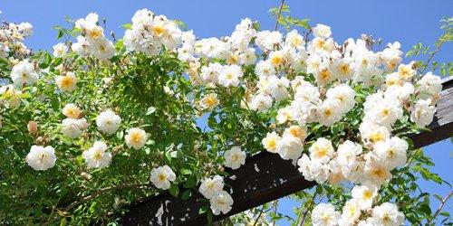 7 rosiers aux fleurs parfumées à planter au jardin