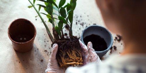 Rempotage des plantes d'intérieur : 7 erreurs à ne pas faire !