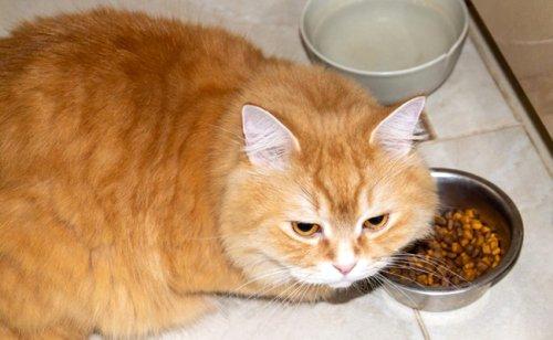 Mon chat est boulimique : pourquoi ? Que faire ?