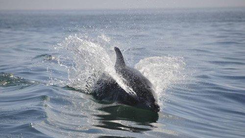 Charente-Maritime. Une trentaine de dauphins rassemblés pour jouer près du pont d'Oléron