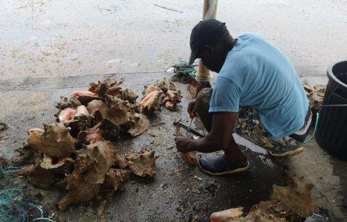 La reprise de la pêche au lambi divise les pêcheurs guadeloupéens