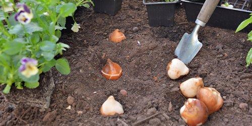 Planter les bulbes d'automne : 6 trucs et astuces