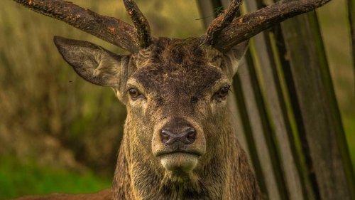 Oise. Deux grands cerfs emblématiques de la forêt de Laigue abattus par des chasseurs